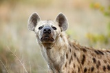 Hyena Sniffing  South Africa