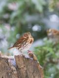 Fox Sparrow  Mcleansville  North Carolina  USA