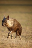 Brown Hyena  South Africa