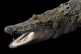 Crocodylus Porosus (Saltwater Crocodile)