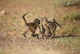 Young Baboons  South Africa