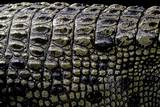 Crocodylus Porosus (Saltwater Crocodile) - Scales