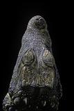 Osteolaemus Tetraspis (Dwarf Crocodile) - Snout