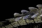 Gavialis Gangeticus (Gharial) - Tail