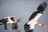 Yellowbilled Stork  South Africa
