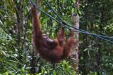 Orangutan (Pongo Pygmaeus) at the Semenggok Orangutan Rehabilitation Center