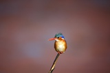 Malachite Kingfisher  South Africa