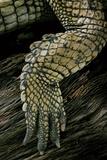 Gavialis Gangeticus (Gharial) - Hindleg
