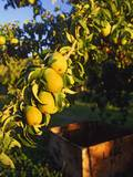 Anjou Pears on Tree Branch