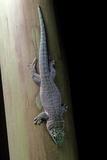 Phelsuma Standingi (Standing's Day Gecko)