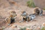 Ground Squirrel  South Africa
