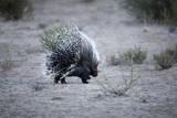 Porcupine  South Africa