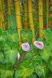 Garden on the Island of Maui with Pink Anthurium  Yellow Bamboo  and Philodendron Plants