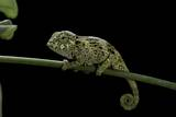 Chamaeleo Johnstoni (Johnston's Chameleon) - Young