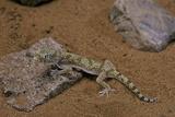 Stenodactylus Sthenodactylus (Elegant Gecko  Lichtenstein's Short-Fingered Gecko)