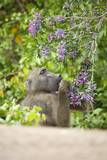 Chacma Baboon Eating Flowers  South Africa