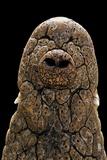 Crocodylus Niloticus (Nile Crocodile) - Snout