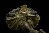 Chlamidausaurus Kingi (Frilled Lizard)