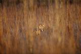 Blackbacked Jackal  South Africa