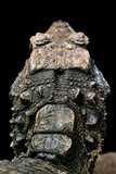 Osteolaemus Tetraspis (Dwarf Crocodile) - Scales