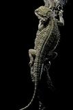 Pogona Brevis (Bearded Dragon)