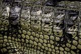 Gavialis Gangeticus (Gharial) - Scales