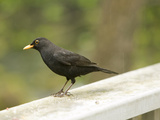 Male Blackbird Sitting on a Garden Rail in the Rain