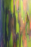 Close-Up of Rainbow Eucalyptus