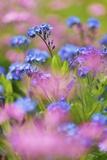 Forget-Me-Not (Myosotis) in Meadow