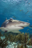 Lemon Shark in the Bahamas