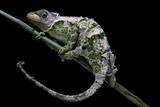 Chamaeleo Johnstoni (Johnston's Chameleon) - Shedding its Skin
