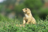 Black-Tailed Prairie Dog in Wyoming