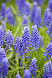 Purple Muscari Armeniacum