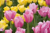 Mirella Tulips