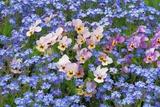 Violet and Forget-Me-Nots