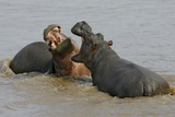 Two Hippopotami Fighting in Water
