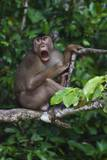 Stump-Tailed Macaque (Macaca Arctoices)