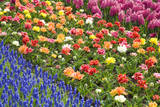 Rows of Flowers in Keukenhof Gardens