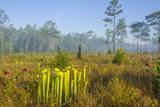 Pitcher Plant Bog and Pine Forest