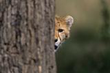 Cheetah Cub Hiding behind Tree Trunk