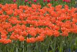 Atje Keulen Tulips