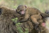 Baboon Baby on Mother's Back