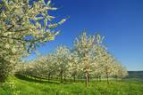 Cherry Plantation in Bloom