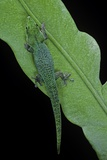 Phelsuma V-Nigra (Indian Day Gecko)