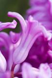Amethyst Hyacinth