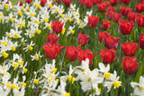Oscar Tulips and Jack Snipe Narcissus