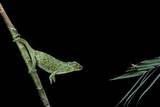Chamaeleo Johnstoni (Johnston's Chameleon) - Capturing an Insect