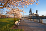 Sunrie Cherry Trees and Steel Bridge  Portland Oregon