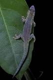 Phelsuma Ornata Ornata (Ornate Day Gecko)