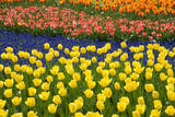 Rows of Tulips in Keukenhof Gardens